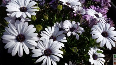 Photo de La marguerite du Cap, Osteospermum