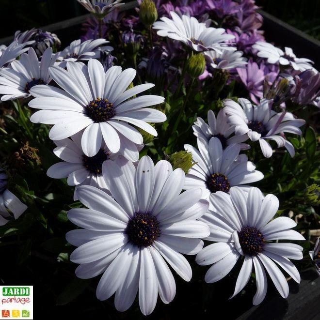 plante osteospermum vivace ou annuelle