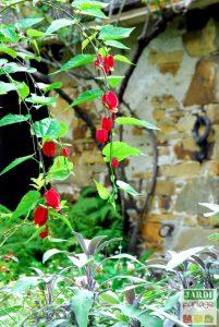 abutilon rouge