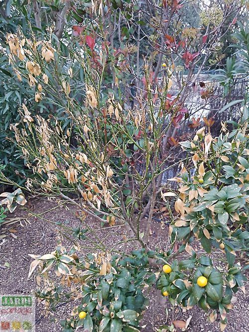 Kumquat feuilles qui sechent