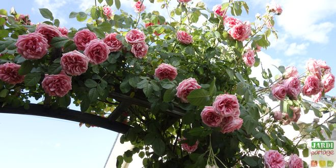 Photo of A l'heure de tailler les rosiers grimpants…