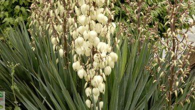 yucca exterieur rustique