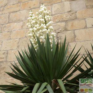 yucca gloriosa resistant au gel