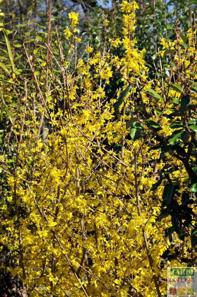 Forsythia floraison