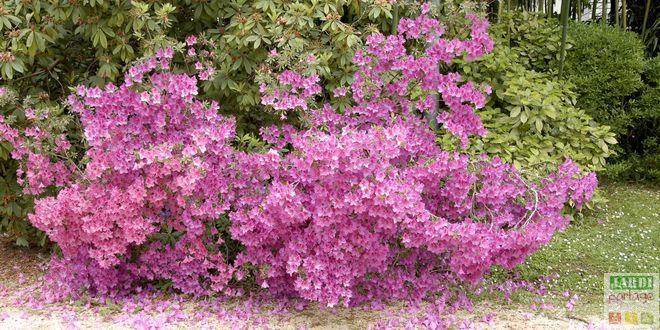 azalea japonica plantes de terre de bruyere