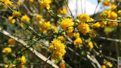 Photo of La Corète du Japon, une pluie de pompons jaunes