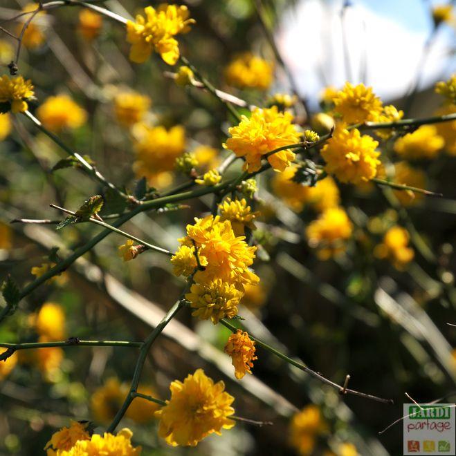 corete du japon floraison