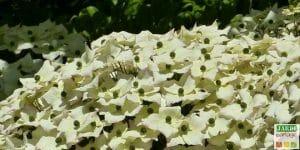 cornouiller a fleurs terre de bruyere