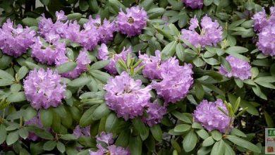 Photo of Les plantes de terre de bruyère: le summum des couleurs