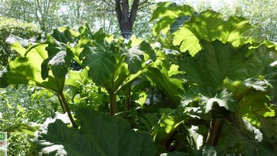 rhubarbe geante