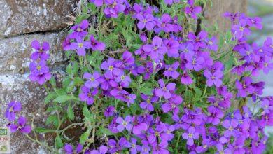 Photo de L'Aubriète: de généreux tapis de fleurs