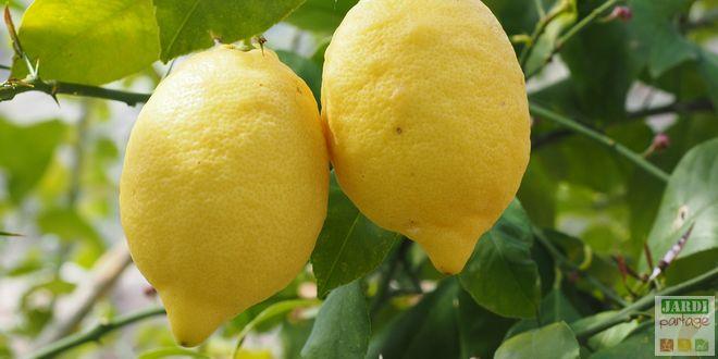 exposition citronnier