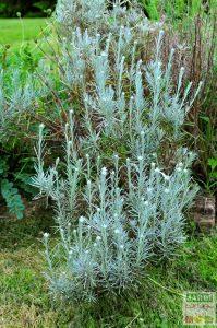 helichrysum plante a curry