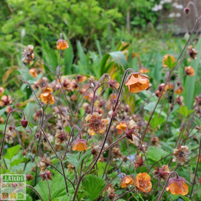 plantes vivaces benoite