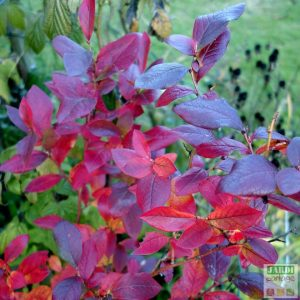 feuille myrtille automne