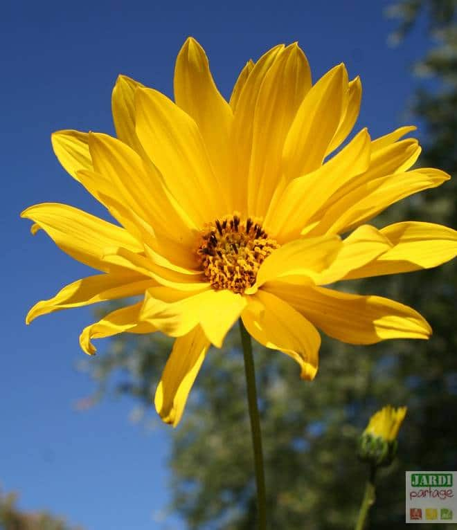 helianthi fleur