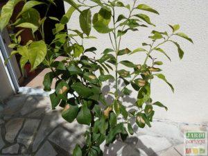 larges taches marron feuilles citronnier