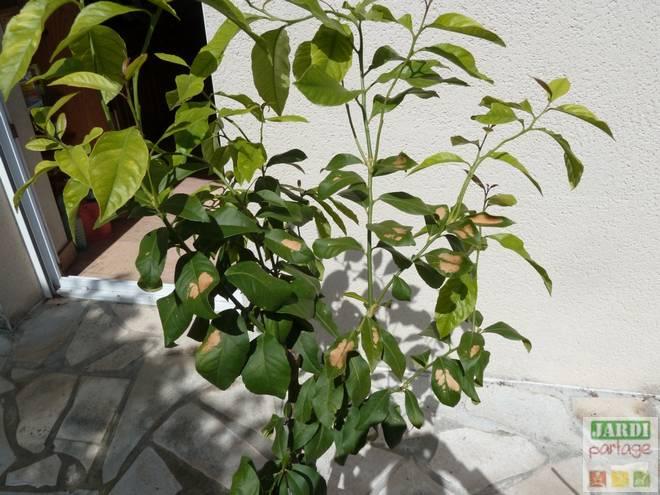 taches marrons sur des feuilles de citronnier
