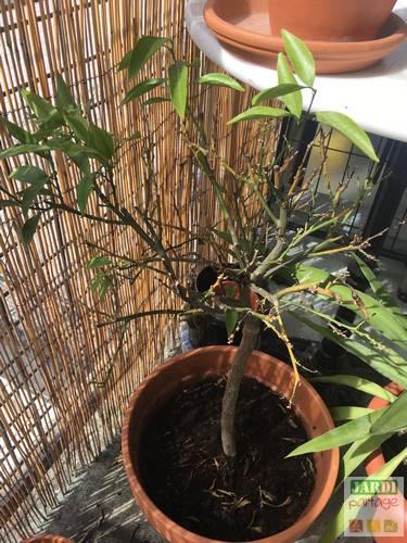 mandarinier qui perd toutes ses feuilles
