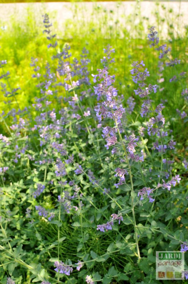 nepeta cataria chat