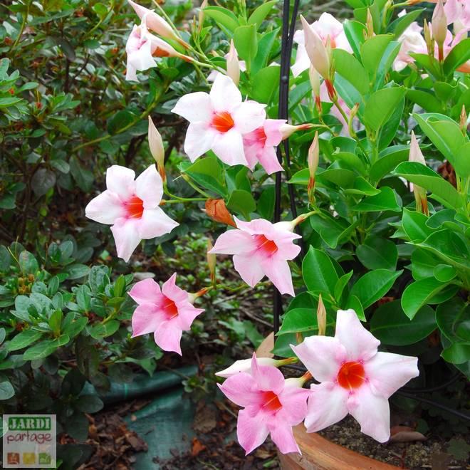 Fleur dipladenia