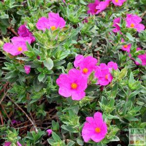 ciste fleur