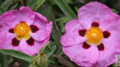 Photo de Les cistes: une succession de fleurs pendant 2 mois !