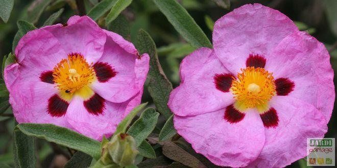 ciste plante