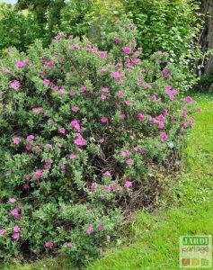ciste plantes jardin