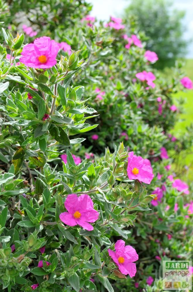 ciste rose