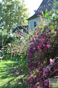 desmodium arbuste