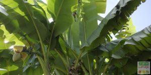 entretien bananier