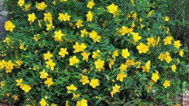 Photo of Le millepertuis: arbuste en fleurs tout l'été !