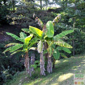 planter un bananier