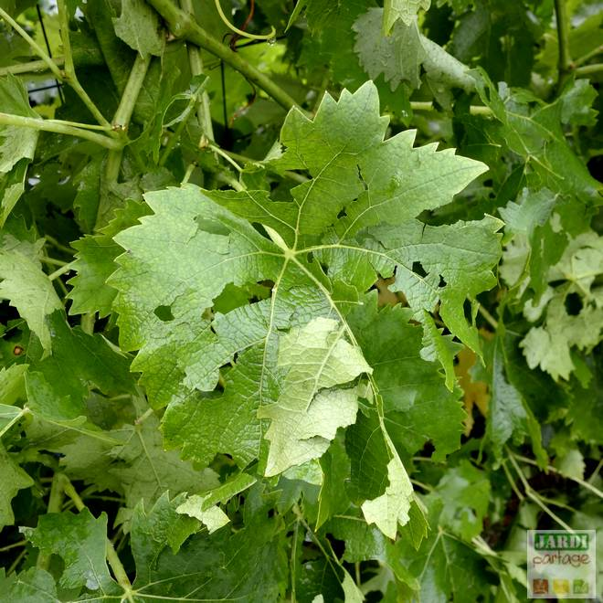 vigne grele