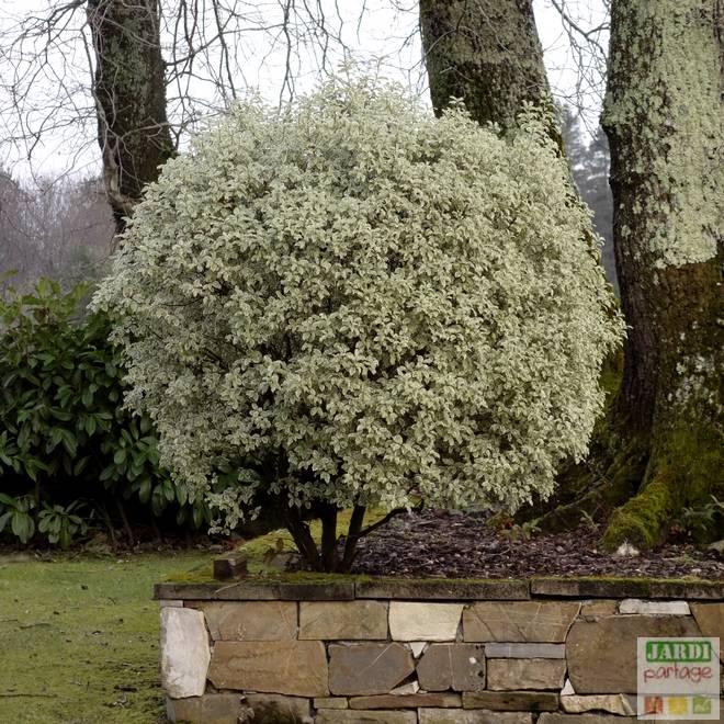 Pittosporum tenuifolium taille