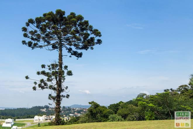 araucaria angustifolia arbre aux dahus