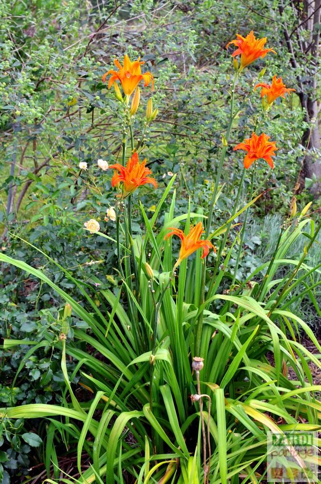entretien des hemerocalles apres floraison