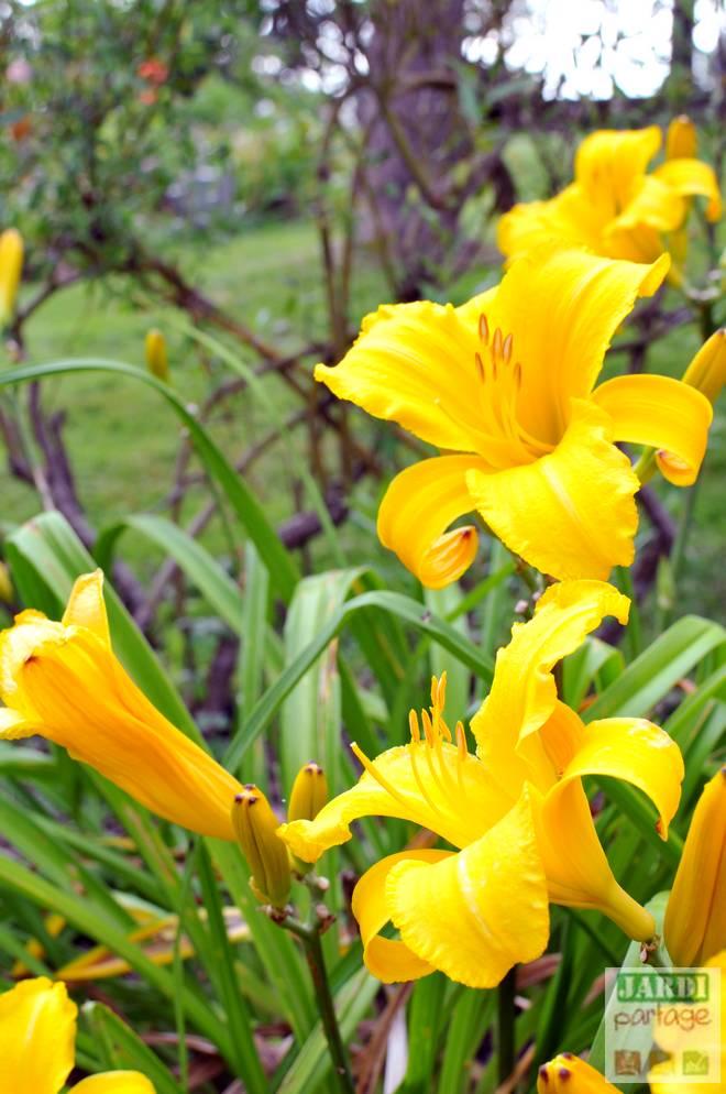hemerocalle jaune entretien