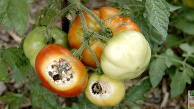 Photo of Identifiez les maladies des tomates pour mieux les prévenir