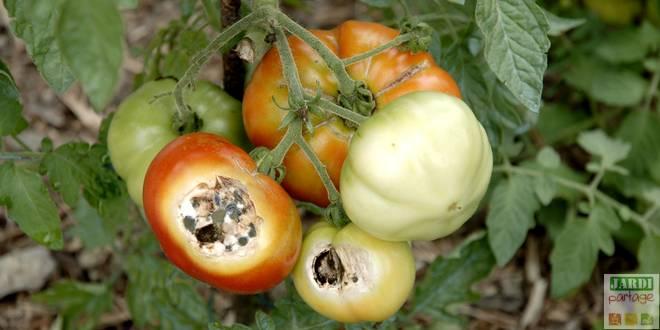 maladie des tomates