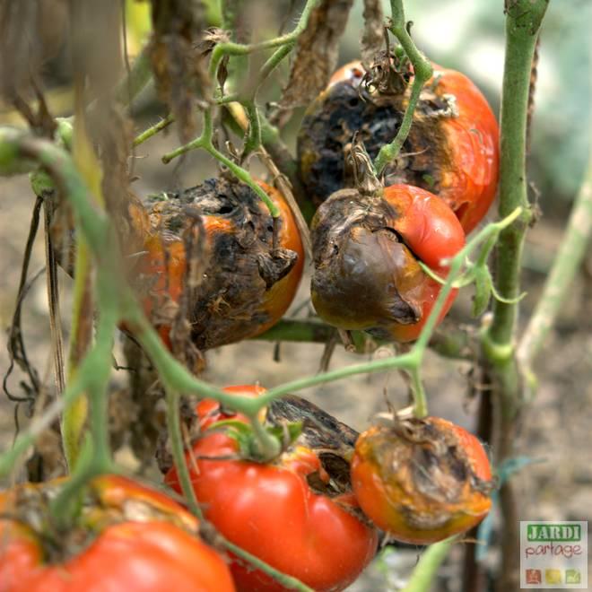 maladie tomate tache noire