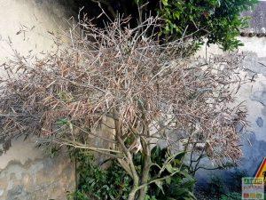 olivier transplante seche