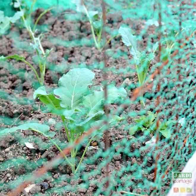 repiquer brocolis