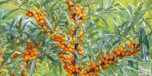 arbuste a baies pour oiseaux