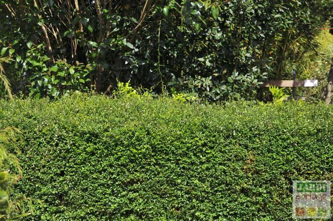 quel arbuste pour remplacer le buis