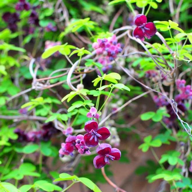plante grimpante pour un grillage