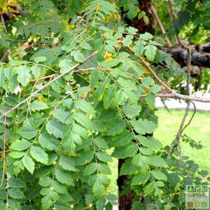 savonnier arbre feuille