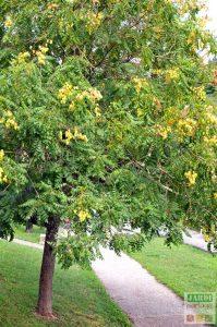 savonnier de chine arbre