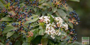 viburnum tinus arbuste a baies pour attirer les oiseaux